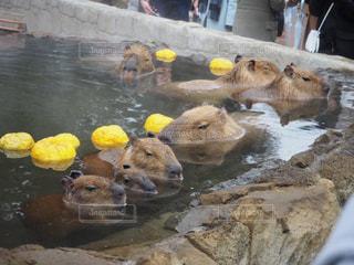 カピバラ温泉でまったりの写真・画像素材[1031874]