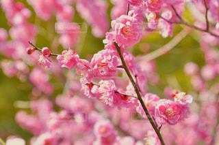 植物にピンクの花の写真・画像素材[1029177]