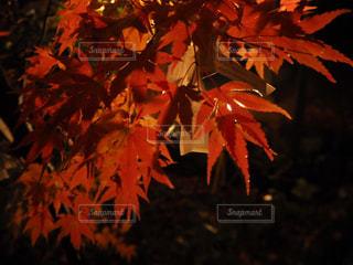 温泉寺にて夜の紅葉狩りの写真・画像素材[1029268]