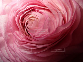 ピンクの薔薇の花の写真・画像素材[1124277]