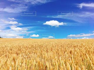 麦畑の写真・画像素材[1031826]