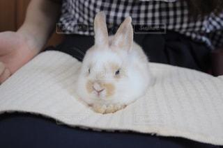 膝に乗る子ウサギの写真・画像素材[1424369]