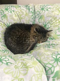 ベッドの上で寝てる猫の写真・画像素材[1029959]
