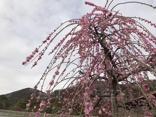 曇りの日にピンクの花の木の写真・画像素材[1049792]
