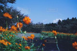 オレンジの花畑の写真・画像素材[1030457]
