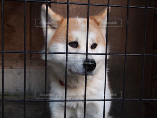 秋田犬の写真・画像素材[1035208]