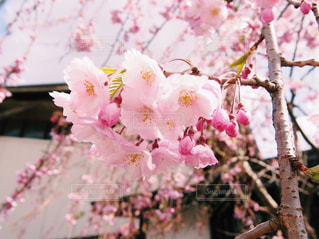 お花見の写真・画像素材[1038014]