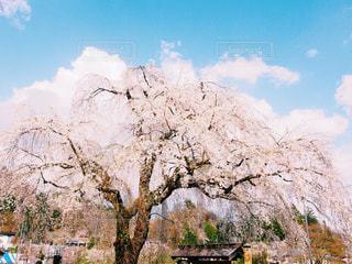 大きな桜の木の写真・画像素材[1038019]
