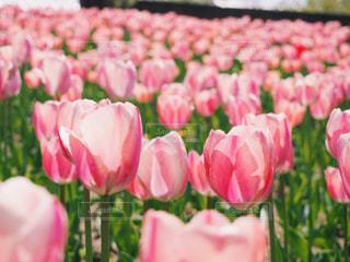 ピンクの写真・画像素材[1038023]