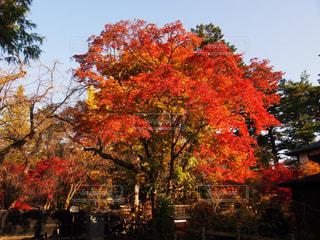 大きな木の写真・画像素材[1038973]
