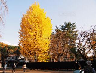 イチョウの木の写真・画像素材[1038975]
