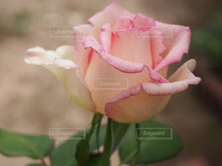 庭のバラの写真・画像素材[1575889]