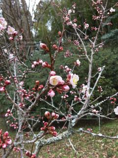 花が咲き始めましたの写真・画像素材[1050490]