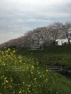 桜と菜の花の写真・画像素材[1084580]