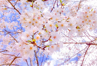 桜の写真・画像素材[1858463]