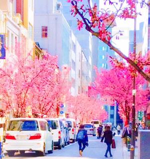 日本橋のオカメ桜の写真・画像素材[1858546]