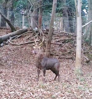 森の中に立っている動物の写真・画像素材[3537301]
