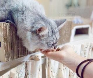 口を開けた猫の写真・画像素材[3760712]