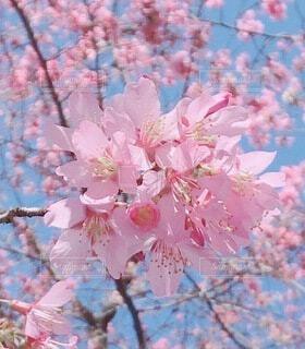ピンクの花の写真・画像素材[4196030]