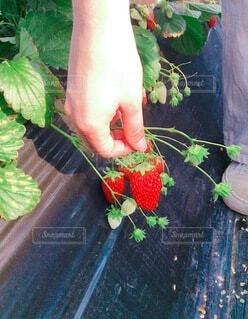果物を持つ手の写真・画像素材[4200527]
