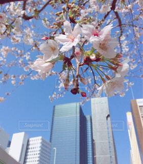 空に桜の木とビルの写真・画像素材[4309576]