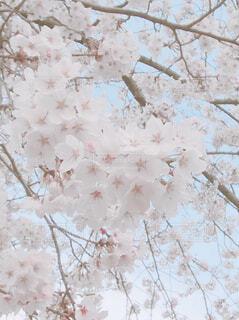 花に覆われた木の写真・画像素材[4309616]