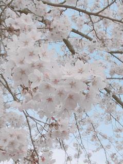 花に覆われた木の写真・画像素材[4309630]