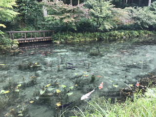 モネの池の写真・画像素材[1030946]