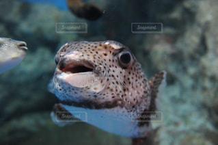 ハリセンボンの顔の写真・画像素材[1037695]