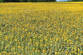 ひまわり畑の写真・画像素材[1042730]