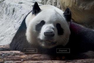 パンダの写真・画像素材[1044831]