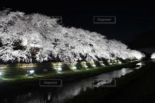 夜桜の写真・画像素材[1045001]