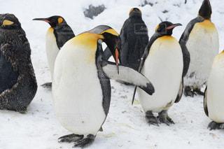 雪の中のペンギンの写真・画像素材[1045004]