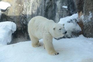 雪で遊ぶシロクマの写真・画像素材[1045009]