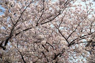 満開の桜の写真・画像素材[1090597]