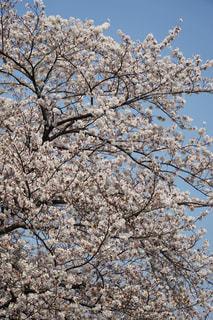満開の桜の写真・画像素材[1090611]