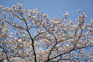 満開の桜の写真・画像素材[1090613]