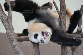 パンダの写真・画像素材[2250618]