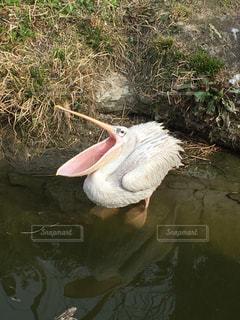 水の中を泳ぐ鳥の写真・画像素材[1033768]
