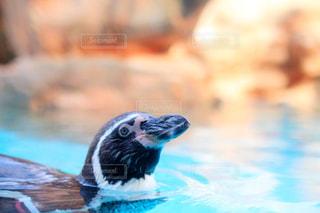 ペンギンの写真・画像素材[1118087]