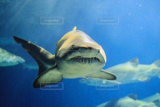 正面を向くサメの写真・画像素材[1118091]