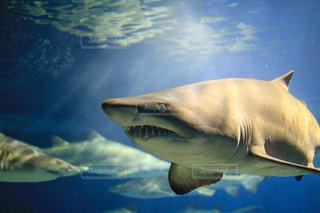 泳ぐシロワニの写真・画像素材[1118103]