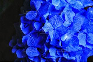 紫陽花の写真・画像素材[1131320]