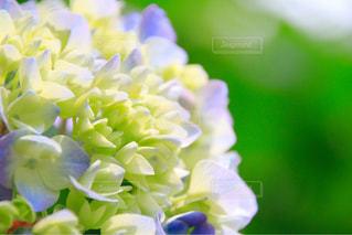 紫陽花の写真・画像素材[1131321]