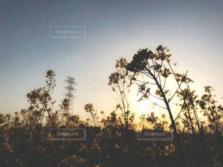 風に揺れる菜の花の写真・画像素材[1131358]