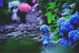 紫陽花の写真・画像素材[1134075]