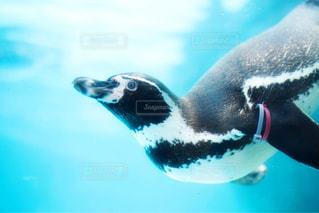 水体で泳ぐペンギンの写真・画像素材[1137250]