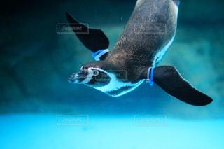 水体で泳ぐペンギンの写真・画像素材[1137253]
