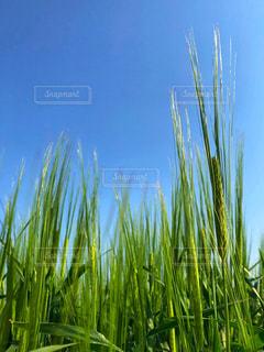 麦の写真・画像素材[1142311]