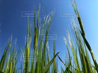 麦の写真・画像素材[1142314]